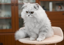 White persian cat on bed Stock Images