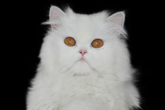 White persian cat Stock Image