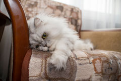 White persian cat on chair Royalty Free Stock Image