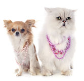 White persian cat and chihuahua Royalty Free Stock Photo