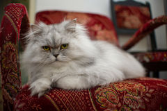White persian cat close-up on chair Royalty Free Stock Photography