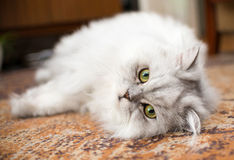 White persian cat close-up on floor Stock Photos