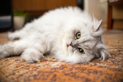 White persian cat close-up on floor Stock Photography