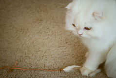 White persian cat with depression. Stock Images