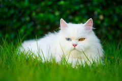 White Persian cat with 2 different-colored eyes heterocromatic. Eyes on the grass field Royalty Free Stock Image
