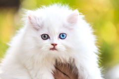 White persian cat and different eyes. Stock Photo