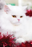 White Persian cat Royalty Free Stock Photography