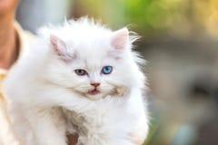 White persian cat. Stock Photo