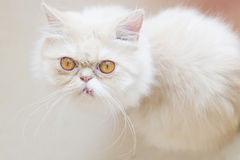 White Persian cat. With funny face Stock Image