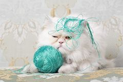 White Persian Cat getting annoyed by wool stock images