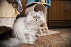 White persian cat Stock Photos