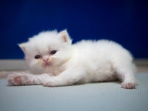 White Persian cat kitten is laying on blue background Royalty Free Stock Image