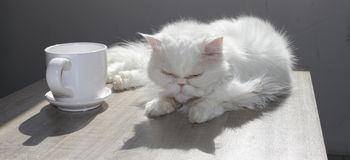 White Persian cat is laying on a table next to a cup of coffee in bright sunlight. White Persian cat near by mug. High Contrast im. Age royalty free stock image