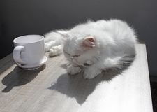 White Persian cat is laying on a table next to a cup of coffee in bright sunlight. White Persian cat near by mug. High Contrast im. Age stock images