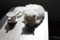 White Persian cat is laying on a table next to a cup of coffee in bright sunlight. White Persian cat near by mug. High Contrast im. Age stock photos