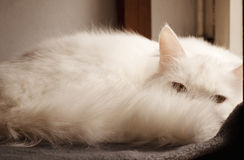 White persian cat peeking Stock Photo
