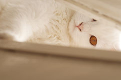 White persian cat peeking Stock Photos