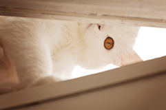 White persian cat peeking Royalty Free Stock Image