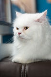 White Persian Cat set on sofa. Stock Image