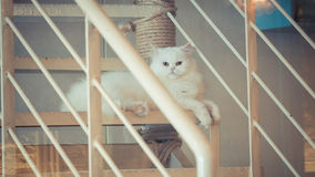 White Persian cat Royalty Free Stock Photos