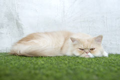 White persian cat sleeping on artificial turf. Wihh funny face Royalty Free Stock Image