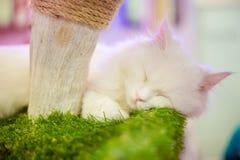 White persian cat sleeping. On cat tree Royalty Free Stock Photos