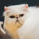 White persian cat snout Stock Images