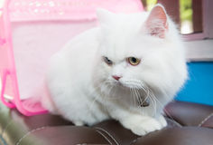 White Persian cat two color eyes Royalty Free Stock Photos