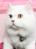White Persian cat two color eyes Stock Photo