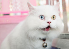White Persian cat two color eyes Royalty Free Stock Photo