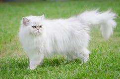 White persian cat walking Royalty Free Stock Image