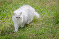 White persian cat walking Royalty Free Stock Photos