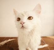 White persian cat Stock Photo