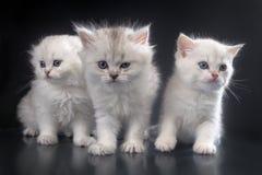 Free White Persian Cats Royalty Free Stock Photos - 35046588