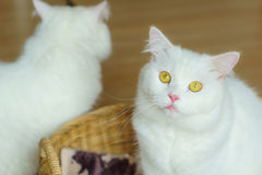White persian fluffy cat in a basket Stock Photography