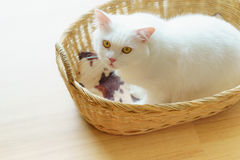 White persian fluffy cat in a nest basket Royalty Free Stock Image