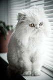 White persian himalayan cat Royalty Free Stock Photo