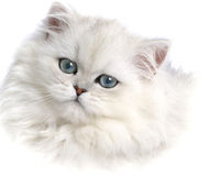 White Persian Kitten. Highkey portrait of white kitten Stock Images