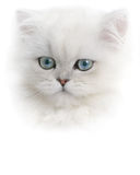 White Persian Kitten. Hghikey portrait of white Persian kitten Royalty Free Stock Image