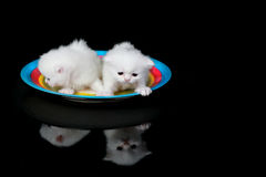 White persian kittens Stock Photos