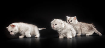White Persian cats. Over black background Royalty Free Stock Photos