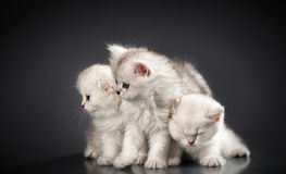 White Persian cats. Over black background Royalty Free Stock Image