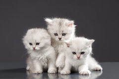 White Persian cats. Over black background Stock Photos