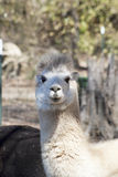 White Peruvian Alpaca Female - Vicugna pacos Royalty Free Stock Photography