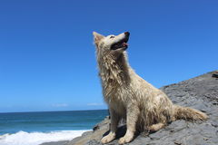 White pet dog happy outdoors by the ocean Royalty Free Stock Photo