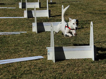 White pet dog jumping post on agility course. White dog mid air jumping over a post during an agility course race Stock Image