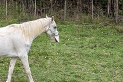 White Horse In New Zealand Countryside. White pet horse on family lifestyle property in new zealand stock photo