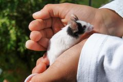 White pet mouse held in kid`s hands. Little domestic white pet mouse or laboratory mouse, held by a young child in his hands. The mouse is looking around royalty free stock images