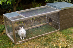 White pet rabbit stock images