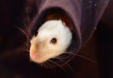 Rat Royalty Free Stock Photography